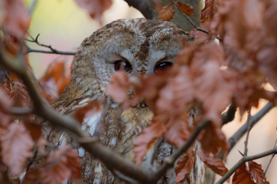 Proud owl's godparent
